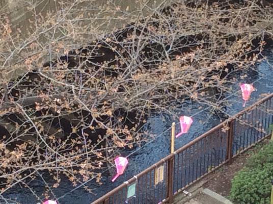 中目黒の桜です。sioux&lily