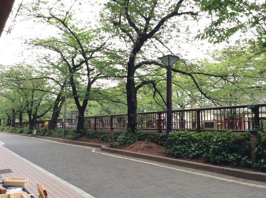 桜の木もすっかり緑になりました。 sioux&lilyエアーショップより