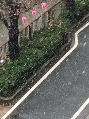 雪降っちゃった中目黒の桜。