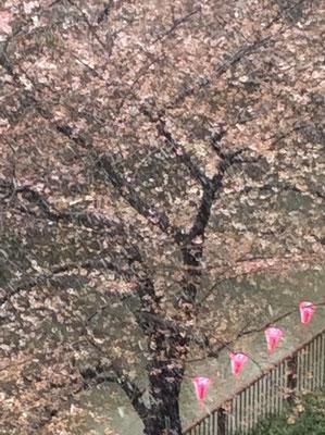 中目黒の桜。。雪降っちゃった。