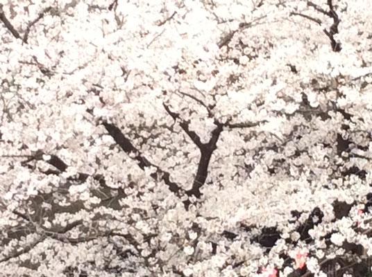 目黒川の桜、満開です。sioux&lily小さな雑貨屋です。