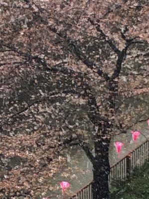 中目黒の桜・・雪降っちゃった。