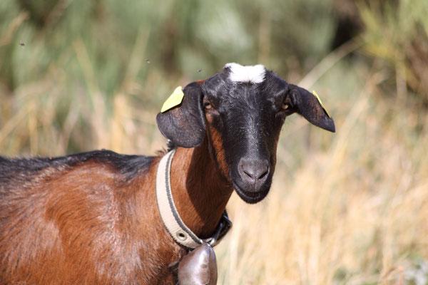Chèvres cévenoles