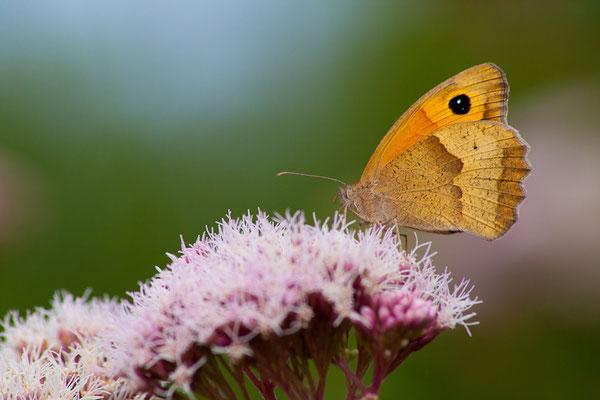 Papillons faune Parc national des Cévennes