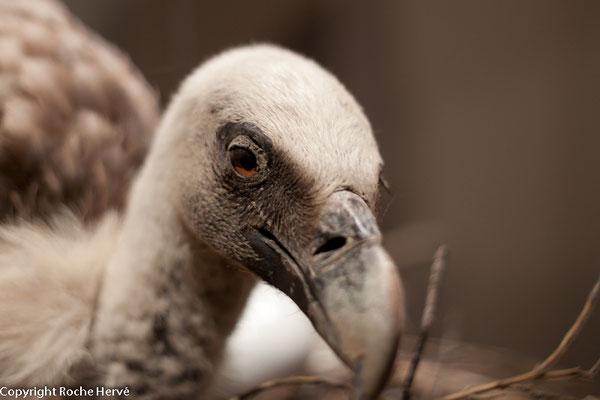 la tête en gros plan d'un vautour fauve