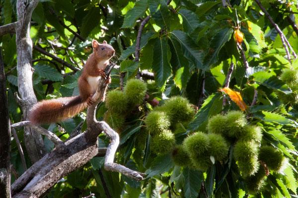 Écureuil roux dans un châtaignier