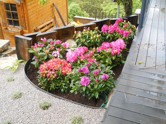 massif de rhododendrons