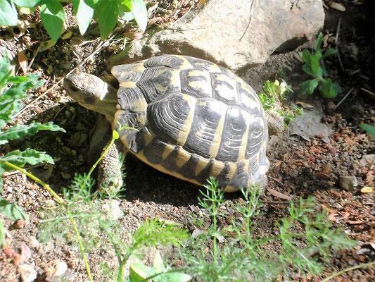 So sieht eine Mittelmeerschildkröte aus...