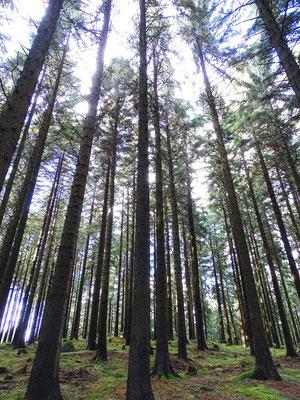 Was mögen das für hohe Bäume sein? - Harzgebirgsfichten ( die inzwischen immer mehr dem Klimawandel und dem Borkenkäfer zum Opfer fallen)