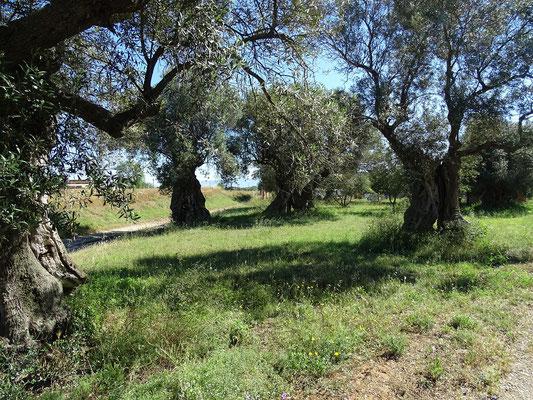 1000-jährige Olivenbäume