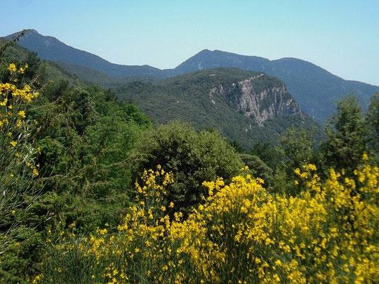 Blühender Ginster vor Garrotxa-Bergen