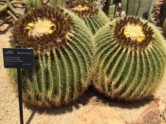 """""""Schwiegermutterkissen"""" - so heißt der Kaktus tatsächlich!"""