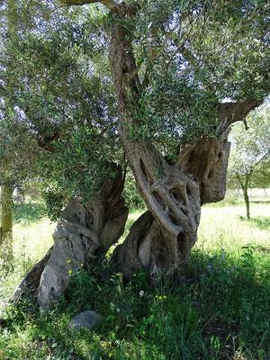 Auch Öl wird auf dem Hof produziert. Hier zwei uralte Olivenbäume