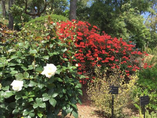 Weiße Rose Pau Casals (?)