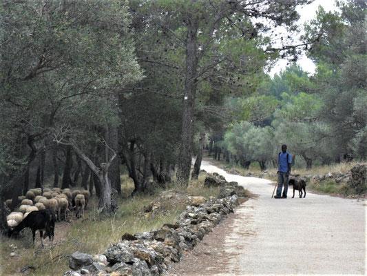 Eine Schaf- und Ziegenherde wird gehalten...