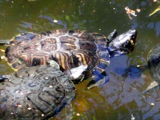 ...und hier Sumpf-/Wasserschildkröten, die es auch in den Alberes gibt