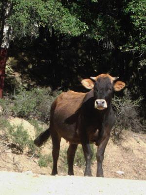 Unterwegs stehen Rindviecher im Weg