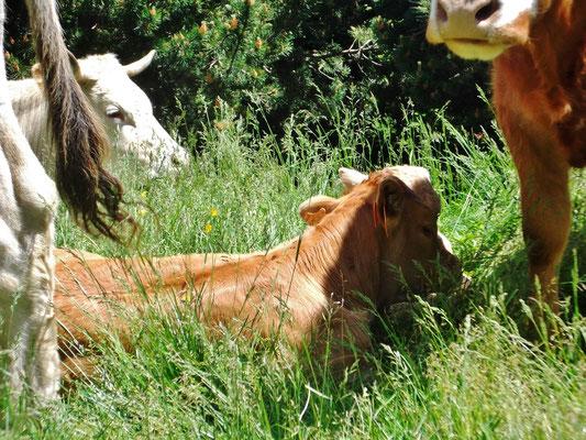 ...wir sehen aber Kühe
