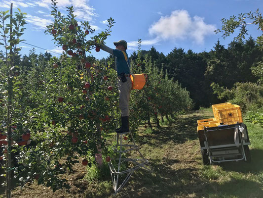 高い箇所のシナノスイートを収穫