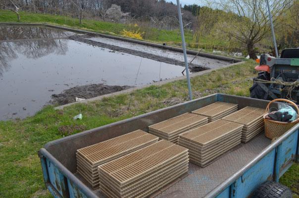 苗箱を水田の苗床に入れます。