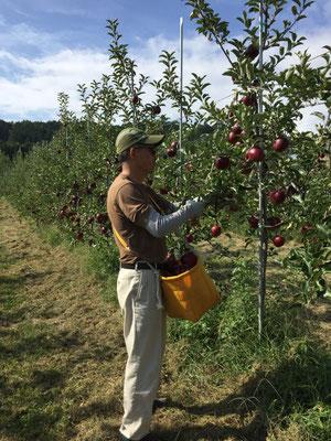 秋映の収穫