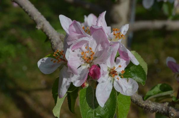 雌しべが正常な花が一輪(右上の花)