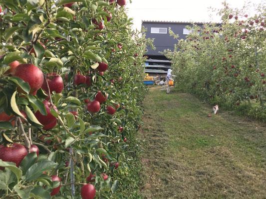 高密植栽培の秋映を収穫