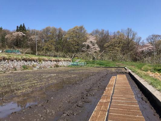 4月19日播種済の苗箱を水田の苗代に入れました。
