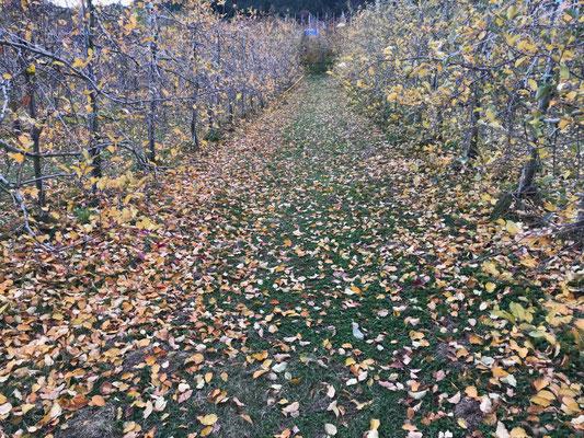 11月27日 落葉が進む果樹園