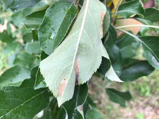 キンモンホソガの侵入が見られる葉の裏側
