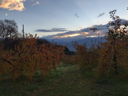 11月21日 紅葉が進む果樹園