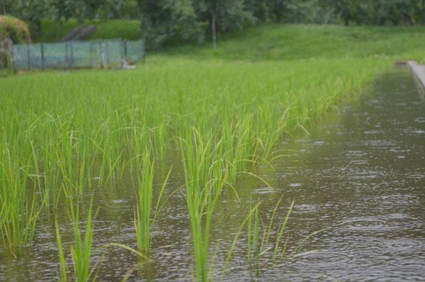 雨降る水田