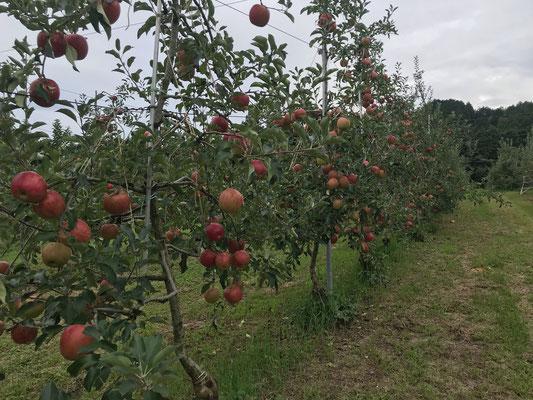 熟した果実が多く見られるサンつがる