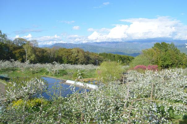 果樹園越しに伊那谷を観る1