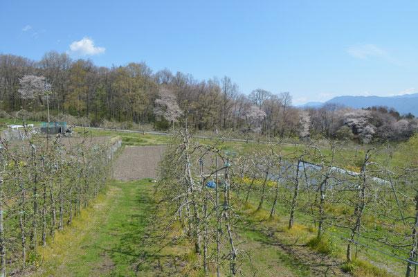 果樹園と山桜