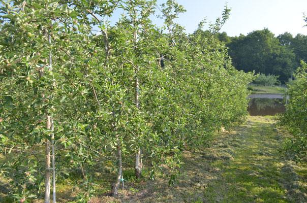 水田横の秋映は果実がみえる大きさに育ちました
