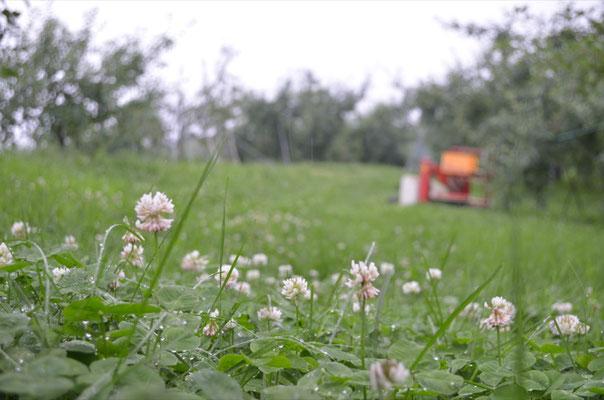 シロツメグサが咲く果樹園