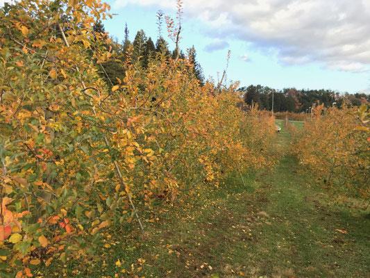 11月22日 収穫を終えた果樹園