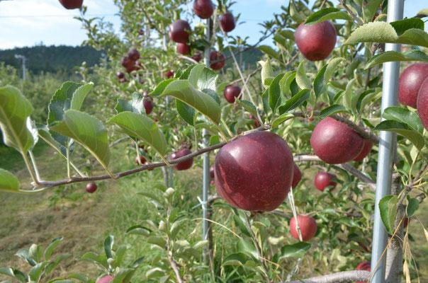 完熟の秋映は濃い赤色と甘い香り
