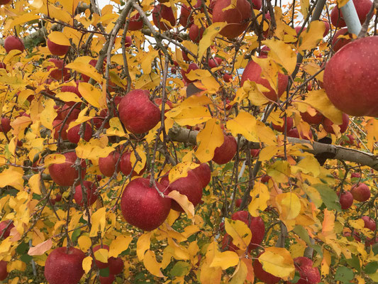11月22日 紅葉と赤い果実