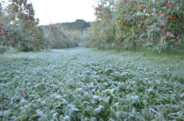 一面霜が降りる果樹園