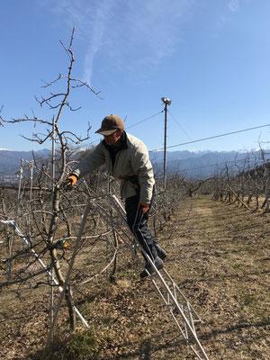雪の無い果樹園では剪定作業が捗ります