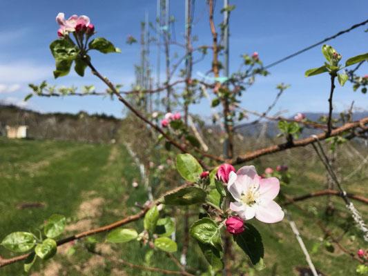 4月15日 シナノリップ 開花始め