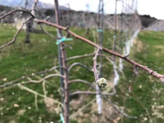 シナノリップ の発芽