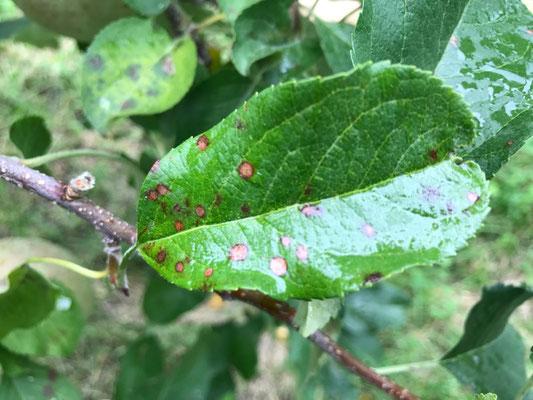 この後黄色になって落葉してしまう褐斑病の葉