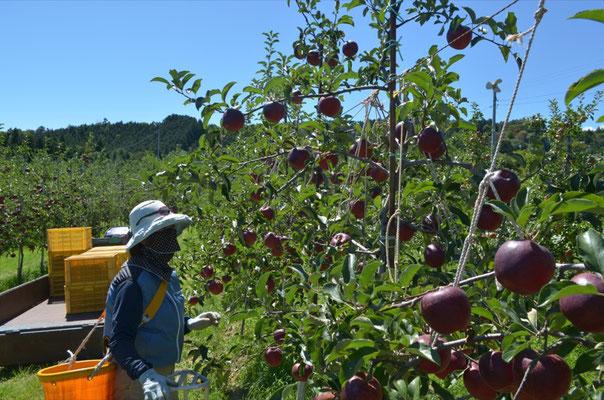 秋映の収穫開始