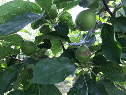 はちまきサビの有る果実が見られるシナノレッド