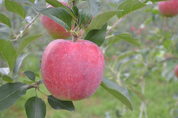 夏りんごシナノリップ