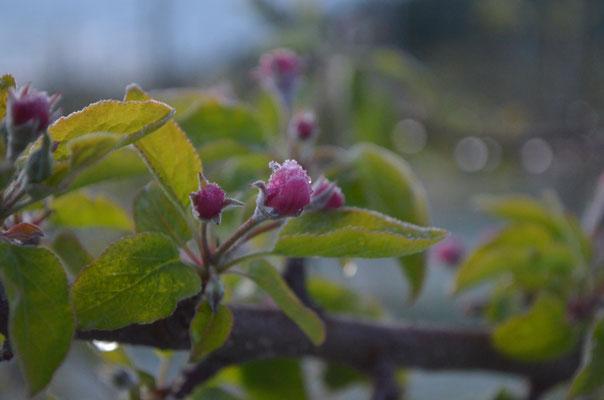 氷が乗るりんごの蕾