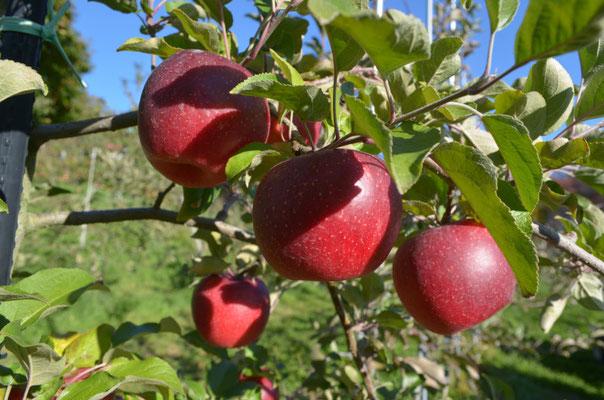 秋のりんごシナノホッペ